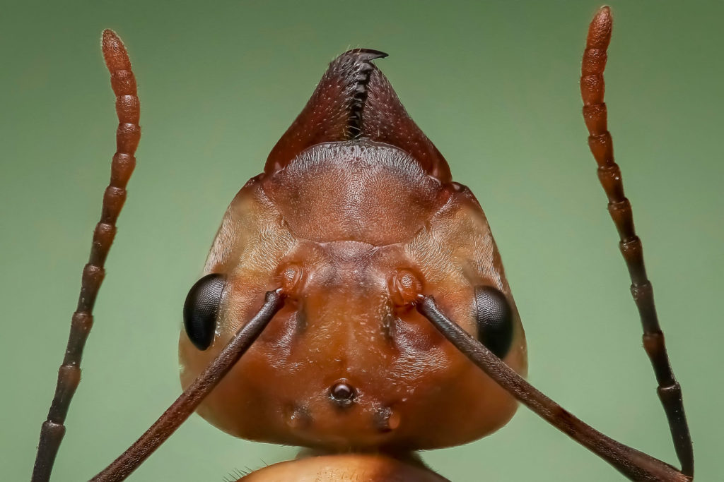 Ant Face