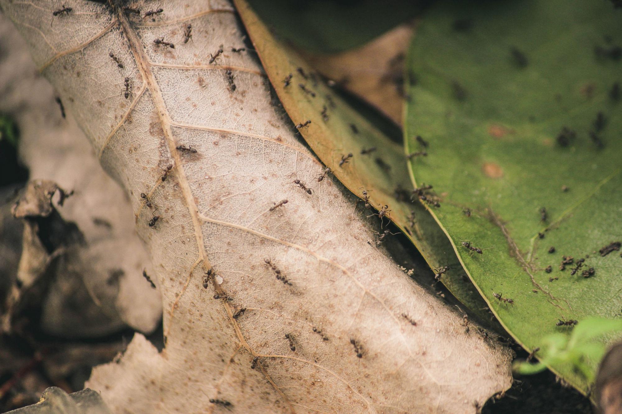 Swarm of Ants