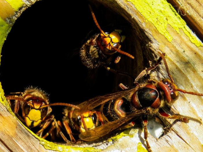 Hornet Pests