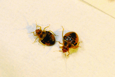 Nymph Bed Bugs