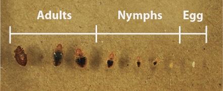 Bed Bug Size Ranges