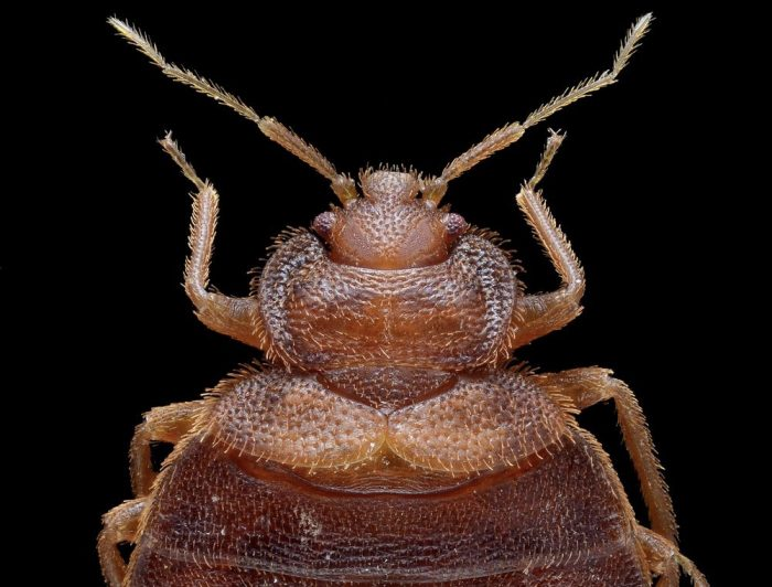 The Head of a Bed Bug with a Black Background