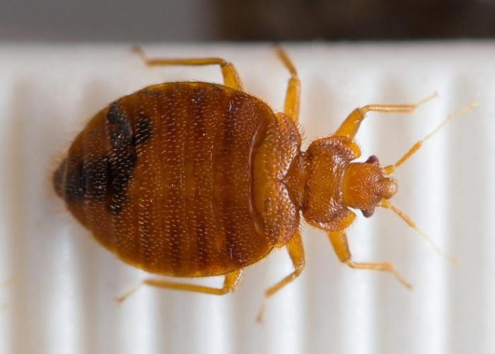 The Body Length of a Bed Bug