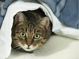 Pet Kitty Cat Looking for Bed Bugs